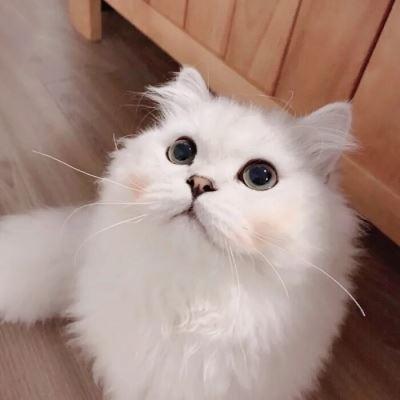 可爱萌宠猫咪一对两张情侣