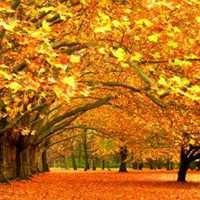 秋天黄色枫叶落叶风景唯