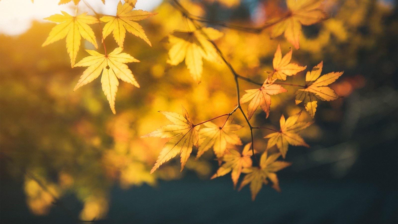 秋色黄色枫叶特写高清植
